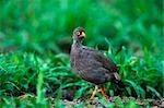 Bec rouge Francolin (Francolinus adspersus) Amongst the Green Grass dans Bushveld
