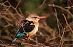 À capuchon Kingfisher (Halcyon albiventris) perché dans un arbre
