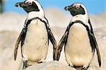 Deux pingouins Jackass (Spheniscus demersus) debout côte à côte sur un rocher