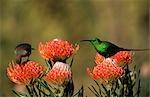 Portrait of Malachite Sunbirds (Nectarina famosa) Pair Sitting on Flowers