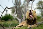 Lion (Panthera leo) bâillement avec languette se prélassant à un côté, la réserve de faune de Moremi, Botswana