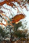 African Fish Eagle (Haliaeetus vocifer) taking flight, Okavango Delta, Botswana