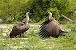 Paire de vautours à dos blanc (Gyps africanus), Parc National de Chobe, Botswana
