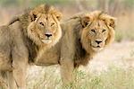 Coalition des lions mâles territoriale (Panthera leo) sur la patrouille, Delta de l'Okavango, Botswana