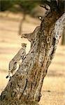 Guépards (Acinonyx jubatus), grimper aux arbres, Masai Mara, Kenya