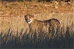 Juvenile Cheetah (Acinonyx jubatis) in long grass, Kgalagadi Transfrontier Park, Northern Cape Province, South Africa