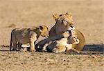 Lionne (Panthera Leo) léchant cub, Kgalagadi Transfrontier Park, Province de Northern Cape, Afrique du Sud