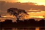 Sunset with silhouetted tree, Selinda Reserve, Botswana