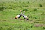 Two crowned cranes (Balearica pavonina), Kenya