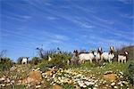 Goats on a Hillside