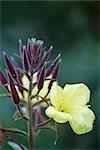 Close-up of an Evening Primrose Flower (Oenothera biennis)
