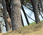 Burchell's Zebra (Equus burchellii) Standing Behind a Tree