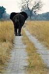 Vue arrière d'éléphant (Loxodonta africana) sur le chemin de terre