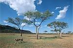Cheetah (Acinonyx jubatus) Mother and Cubs Walking Along Savannah
