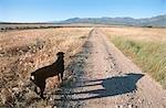 Rückansicht des ein Rottweiler auf einem Feldweg