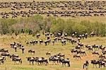 Wildebeest (Connochaetes taurinus) Migrating