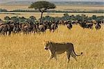 Lioness (Pathera leo) Walking Past a Wildebeest (Connochaetes taur) Herd