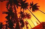 Une vue vers le haut des palmiers silhouetté par le coucher du soleil