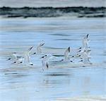 Un troupeau de moindre Sterne huppée (Sterna bengalensis) volant au-dessus des battures