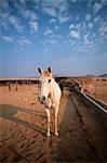 Horses (Equus Caballus) in an Enclosed Area