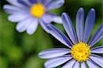 Pale Purple Daisies - Close-Up