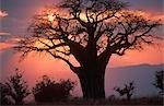Silhouette d'un Baobab au coucher du soleil
