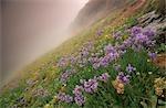 Misty Field of Purple Agapanthus