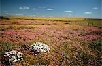 Champs de fleurs sauvages dans le District de Nieuwoudtville