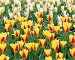 Champ de tulipes jaunes et rouges