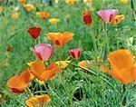 Champ de californien coloré fleurs de pavot