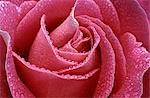 Gros plan d'une Rose rose couverte de rosée