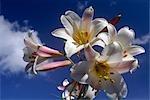 Fleurs de lis blancs sur un fond de ciel bleu