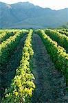 Vignoble et montagne paysage scène