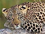 Léopard (Panthera pardus), le plus grand parc National de Kruger, Afrique du Sud