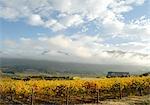 Vineyards in the Hemel-en-Arde or Heaven on Earth Valley. Hermanus, Western Cape Province, South Africa