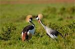 Grey Crowned Cranes (Balearica regulorum), Koyaki Wilderness, Masai Mara, Narok District, Kenya