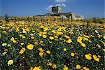 Banques de fleurs sauvages dans les collines de Marsala, près de Marsala, Sicile, Italie, Europe