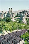 Raisins de séchage, vignoble et cône abrite, Cappadoce, Anatolie, Turquie, Asie mineure, Asie