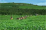 Tea picking, Sotik, Kenya, East Africa, Africa