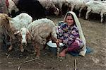 Fille de Turkoman traire les brebis, Iran, Moyen-Orient