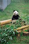 Panda in Chongquing City Zoo, Chongquing City, Chongquing, China, Asia