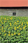 Un champ de tournesols en face d'une ferme en bois de construction sur l'île d'Hokkaido, Japon, Asie