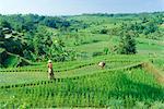Rizières en terrasses près de Jatiluwih, Bali, Indonésie