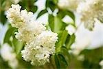 Close-up of Lilacs