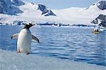 Gentoo Penguin Observing Kayaker, Antarctica
