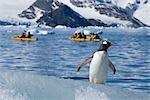 Gentoo Penguin Observing Kayakers, Antarctica