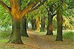 Path Through Lime Trees, Volkach, Bavaria, Germany