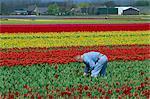 Champs de tulipes près de Keukenhof, Hollande, Europe