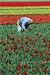 Man working in tulip fields, near Keukenhof, Holland, Europe