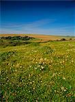 Fleurs sauvages sur le downland des South Downs, à East Dean, près de Eastbourne, East Sussex, Angleterre, Royaume-Uni, Europe